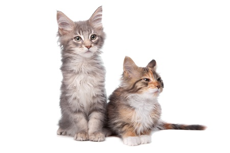 Maine Coon kittens in front of a white background Stock Photo - 13228415