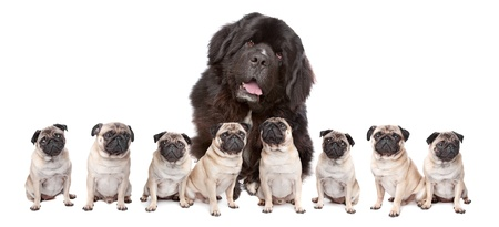 A huge newfoundland dog and eight pugs sitting in a row isolated on a white background Foto de archivo