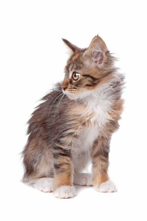 coon: maine coon kitten in front of a white background