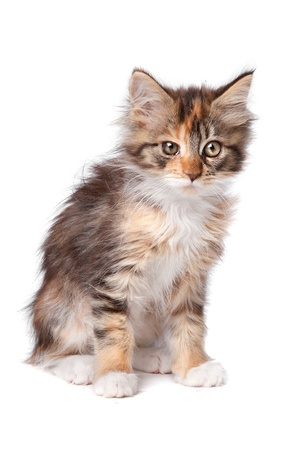 maine coon kitten in front of a white background photo