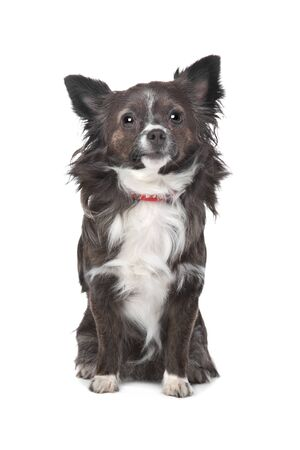 long haired chihuahua: long haired chihuahua in front of a white background
