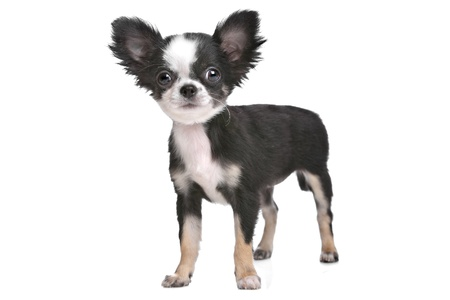 long haired chihuahua: Long haired chihuahua puppy in front of a white background