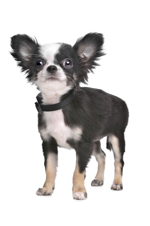 Long haired chihuahua puppy in front of a white background