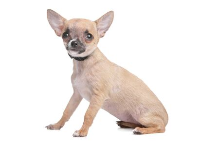 chiwawa: short haired chihuahua in front of a white background