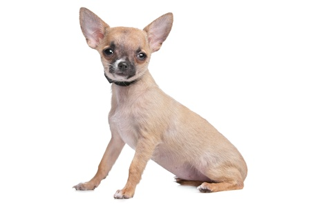 short haired chihuahua in front of a white background Stock Photo - 13242444