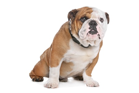 English Bulldog in front of a white background Foto de archivo