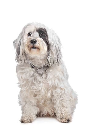 Tibetan Terrier in front of a white background photo