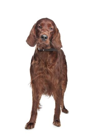 Irish setter hound in front of a white background Stock Photo - 13242480
