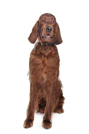 Irish setter hound in front of a white background photo