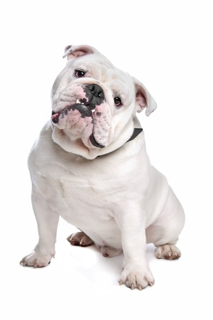 English Bulldog in front of a white background photo