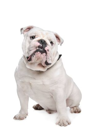 English Bulldog in front of a white background Stock Photo - 13242472