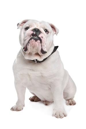 English Bulldog in front of a white background Standard-Bild