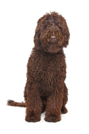 brown labrador: Brown Labradoodle in front of a white background