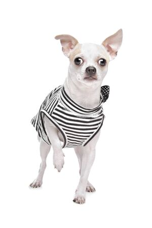 dressed chihuahua in front of a white background photo