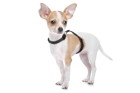 Short haired chihuahua in front of a white background Stock Photo - 13242314