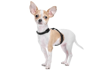chiwawa: Short haired chihuahua in front of a white background Stock Photo