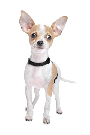 Short haired chihuahua in front of a white background Foto de archivo