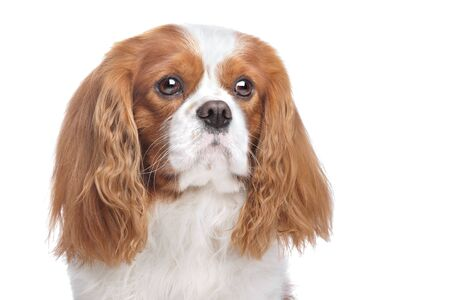 Cavalier King Charles Spaniel Blenheim in front of white photo