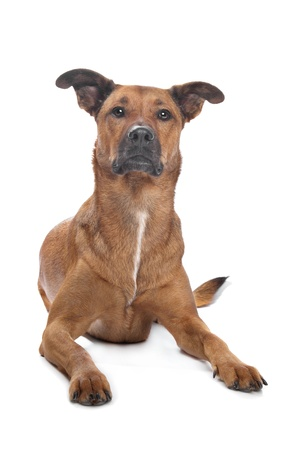mixed breed dog in front of a white background photo