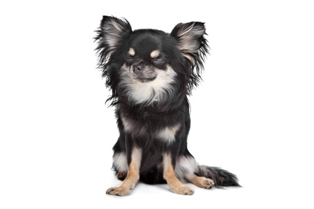 long haired chihuahua in front of a white background Stock Photo - 13242402