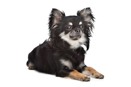 long haired chihuahua in front of a white background photo