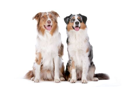 Two Australian Shepherd dogs in front of a white background Stock Photo - 13242867