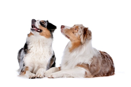 shepherd's companion: Two Australian Shepherd dogs in front of a white background