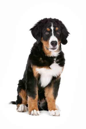berner: Bernese Mountain Dog puppy in front of a white background Stock Photo