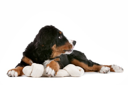 Bernese Mountain Dog puppy in front of a white background photo