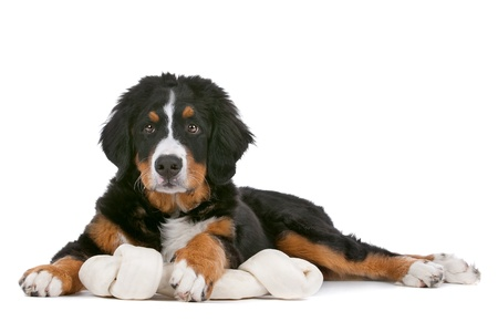 bernese: Bernese Mountain Dog puppy in front of a white background Stock Photo