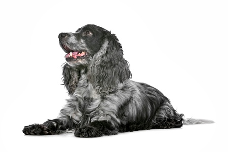 roan: blue roan cocker spaniel in front of a white background