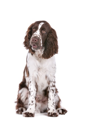 Springer Spaniel in front of a white background Imagens - 13242476