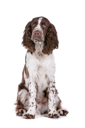 Springer Spaniel in front of a white background photo