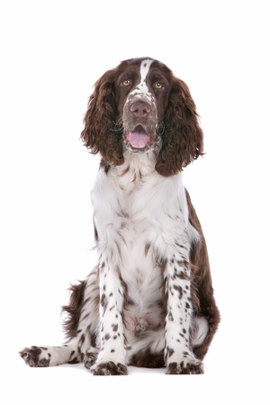 springer spaniel: Springer Spaniel in front of a white background