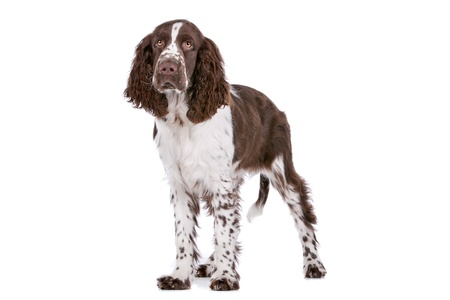 Springer Spaniel in front of a white background Imagens - 13242445