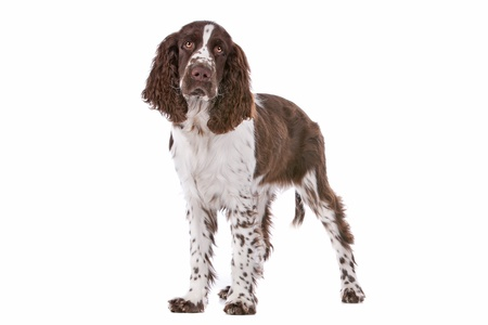 Springer Spaniel in front of a white background Imagens - 13242465