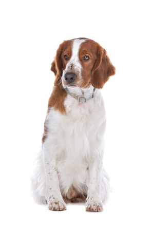 springer: Springer Spaniel in front of a white background