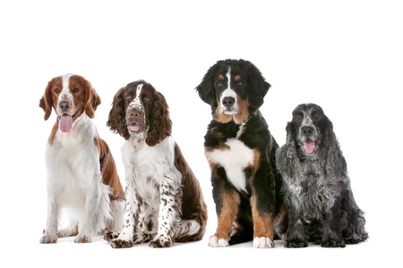 two springer spaniels, one bernese mountain dog puppy and a cocker spaniel