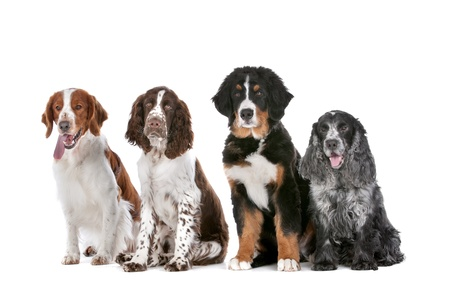 two springer spaniels, one bernese mountain dog puppy and a cocker spaniel photo
