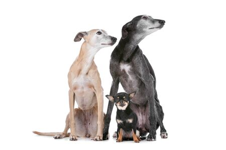 two greyhounds and a chihuahua in front of a white background photo