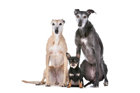 two greyhounds and a chihuahua in front of a white background Stock Photo - 13242651