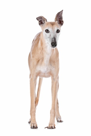 Old greyhound in front of a white background Stock Photo - 13242342