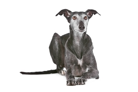 Old greyhound in front of a white background photo