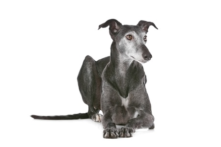 Old greyhound in front of a white background