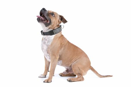 staffordshire bull terrier in front of a white background Stock Photo