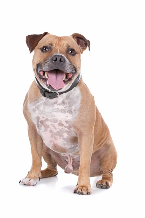 bull terrier: staffordshire bull terrier in front of a white background Stock Photo