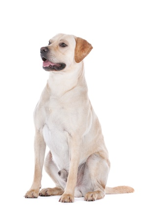 Labrador Retriever in front of a white background