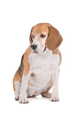 Beagle hound in front of a white background Stock Photo - 13242598