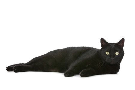 black cat: cat in front of a white background
