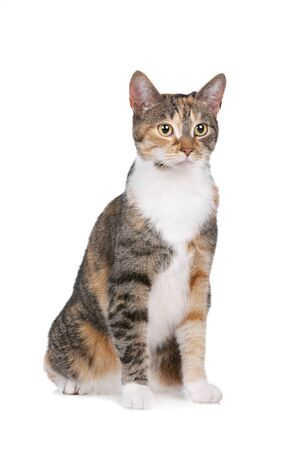 cat in front of a white background photo